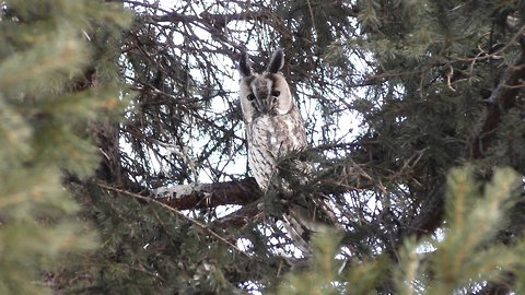 Great horned owl sitting on a fir branch