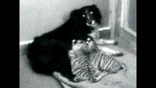 Dog Adopts Tigers - Video