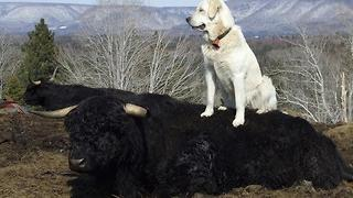 Livestock Guardian Dog enjoys that last patch of Spring snow before going back to work