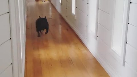 Excited French Bulldog pinballs down slippery hallway