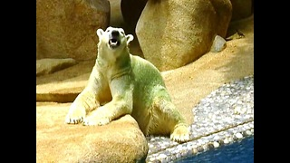 Polar Bear Turns Green - Video