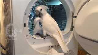 Clean-Conscious Cockatoo Helps With the Laundry