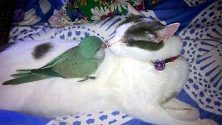 Unlikely pairing sees parrot become best friends with cat – And now calls her name every day - Video