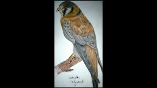 Drawing Falcon Colored