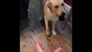 Mischievous dog teases owner with stolen sock - Video