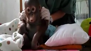 Baby 'pet' orangutan rescued from chicken cage takes first steps - Video