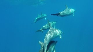 Large pod of dolphins lead boat through water