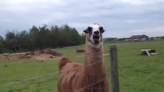 What noise does a llama make?  - Video