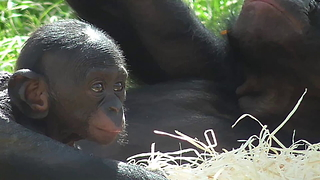 Baby pygmy chimpanzee chills out in the sun - Video