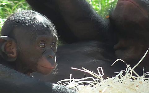 Baby pygmy chimpanzee chills out in the sun
