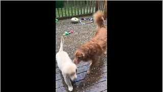 Retriever Makes His Siblings Come Inside During Hail Storm - Video
