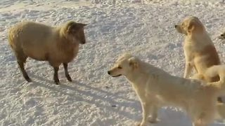 Curious Ram Joins In On Playtime With Guard Dogs - Video