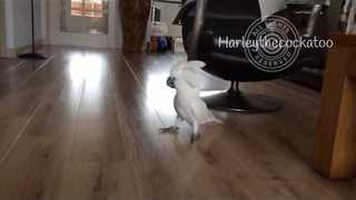 Sprinting Cockatoo Goes Nuts for Fetch - Video