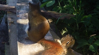 Chipmunk becomes victim in red squirrel peanut prank - Video