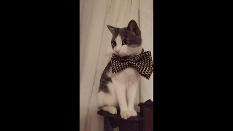 Kitten wearing a bow tie is the cutest sight ever!