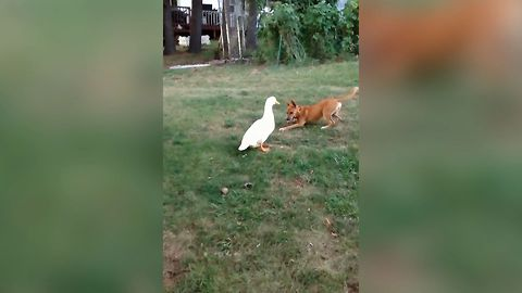Duck And Dog Have An Adorable And Unusual Friendship