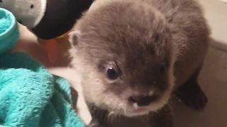 Adorable Baby Otter Has Fun Playing With A Towel  - Video