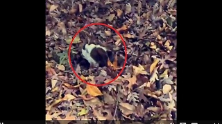 Bulldog gets lost in massive pile of leaves - Video