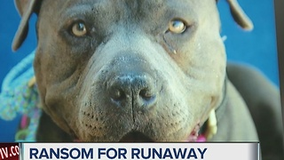 Scammers demand cash for family's missing dog - Video