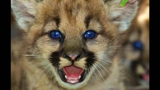 Newborn mountain lions discovered near L.A. - Video