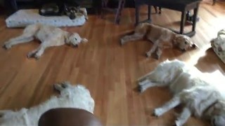 Dogs Exhausted After Easter Weekend 'Pawty' - Video