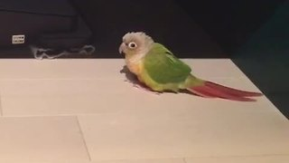 Parrot defends territory from robot vacuum - Video