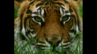 Amazing Tiger Enclosure At London Zoo - Video