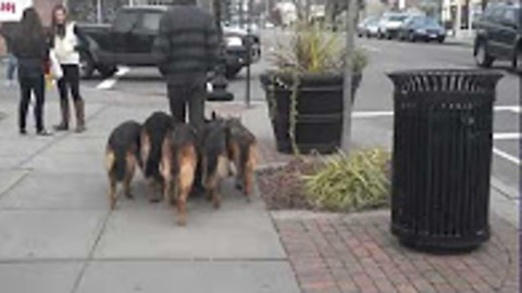 Trainer Walks Pack Of Dogs Without A Leash