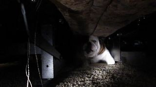 Bulldog Boogeyman Hides Under The Bed - Video
