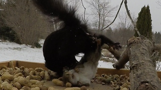 Red & black squirrels have vicious fight at bird feeder - Video