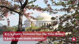 Facts about D.C.'s world-famous cherry blossom trees | Rare News - Video