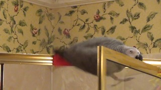 Adept parrot performs a precarious maneuver - Video