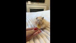 Funny Hamster Tries Banana Chip For The First Time (Chews!)