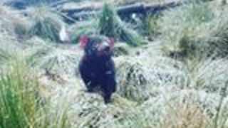 Tasmanian Devil Curiously Lifts Nose to Falling Snow - Video