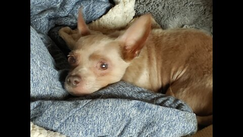 Disabled Chihuahua is Overcomer