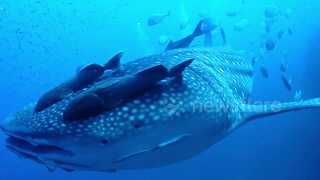 Diver gets whipped by huge whale shark in Thailand