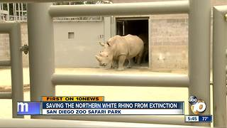 Saving the Northern White Rhino from extinction - Video