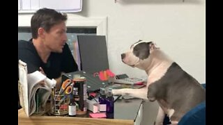Owner has morning work meeting with Pitbull