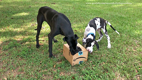 Great Dane teaches puppy how to open Amazon package