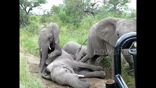 Tourist captures rare moment herd of elephants frolick with each other - Video