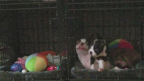 Boston Terrier puppies play together after first ever meeting