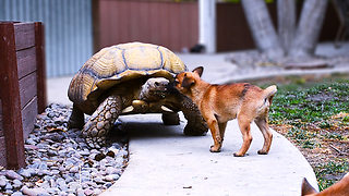 Abandoned Puppies Befriend A Lonesome Giant Tortoise