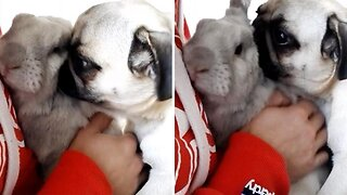 Pugs And Kisses! Needy Pug Wants Attention From Family Rabbit And Owner