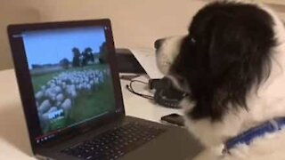 Dog herds sheep from home during quarantine