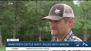 Rancher's Cattle Shot, Killed With Arrow