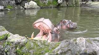 Tourists Play Real-Life Game of 'Hungry Hippos' - Video
