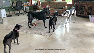 Pouncing and Bouncing Great Danes Play Tag With Dog Friends