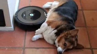 Dog gets belly rubs from Roomba