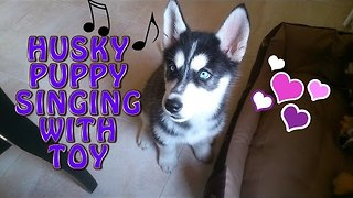 Hip Husky Makes Magical Music With Squeaky Toy - Video