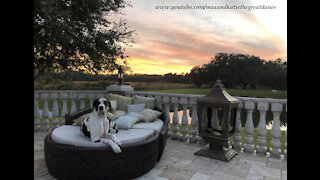 Great Dane Has To Fluff His Patio Pillows Until They Are Just Right